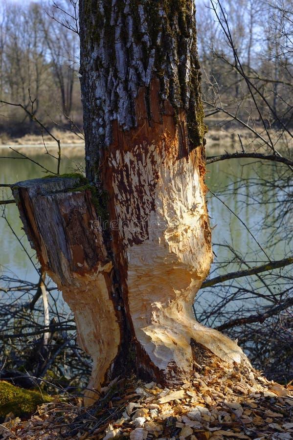 Beschadigde boom door bever op oevergebied royalty-vrije stock afbeelding