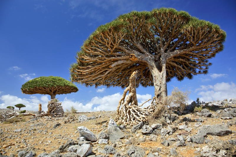 Beschadigde draakboom royalty-vrije stock afbeelding