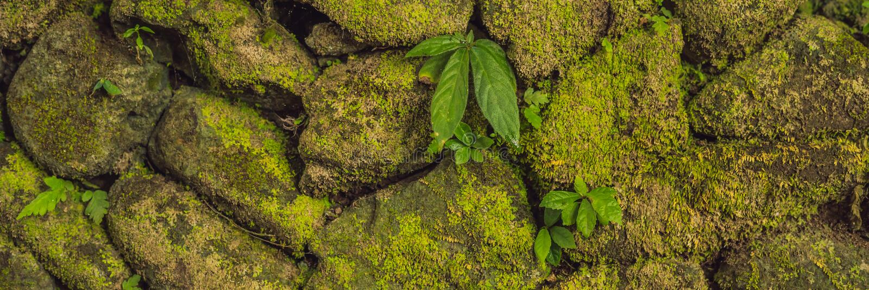 Beschaffenheit der alten Steinwand bedeckte grünes Moos im Fort FAHNE Rotterdams, Makassar - Indonesien-, langes Format lizenzfreies stockbild