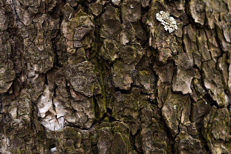 Beschaffenheit der Barke eines Baums Hölzerner Hintergrund stockfoto
