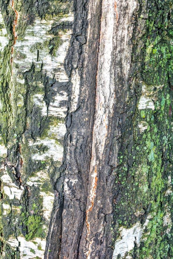 Beschaffenheit der Baumrinde mit grünem Moos stockbilder