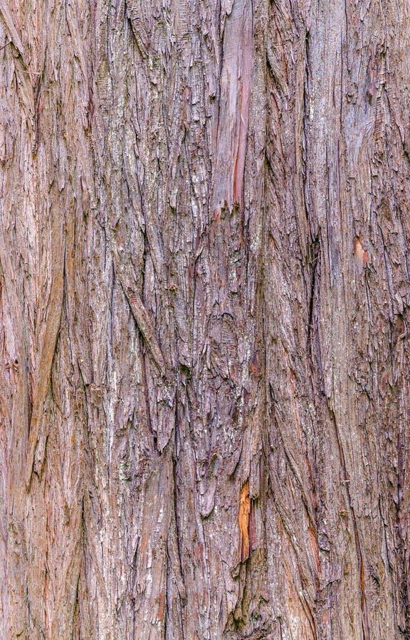 Beschaffenheit der kahlen Zypresse stockbild