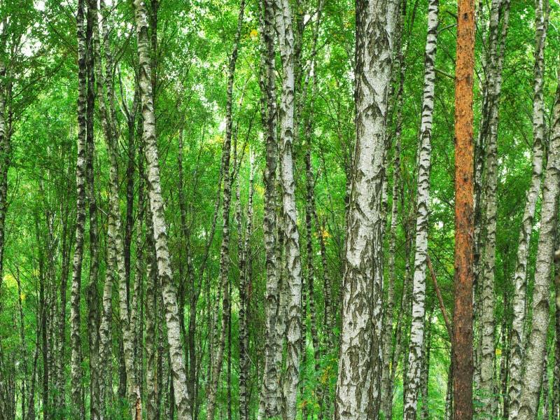 Beschaffenheit des Birkenholzes lizenzfreie stockbilder