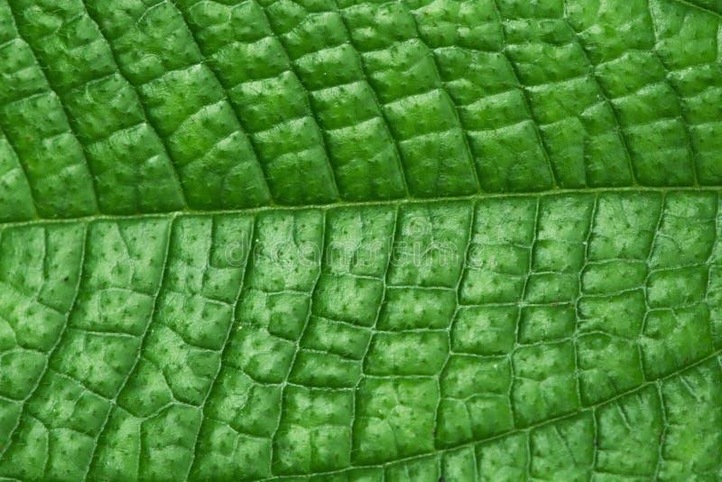 Beschaffenheit des grünen Blattes - Hintergrund lizenzfreie stockfotografie