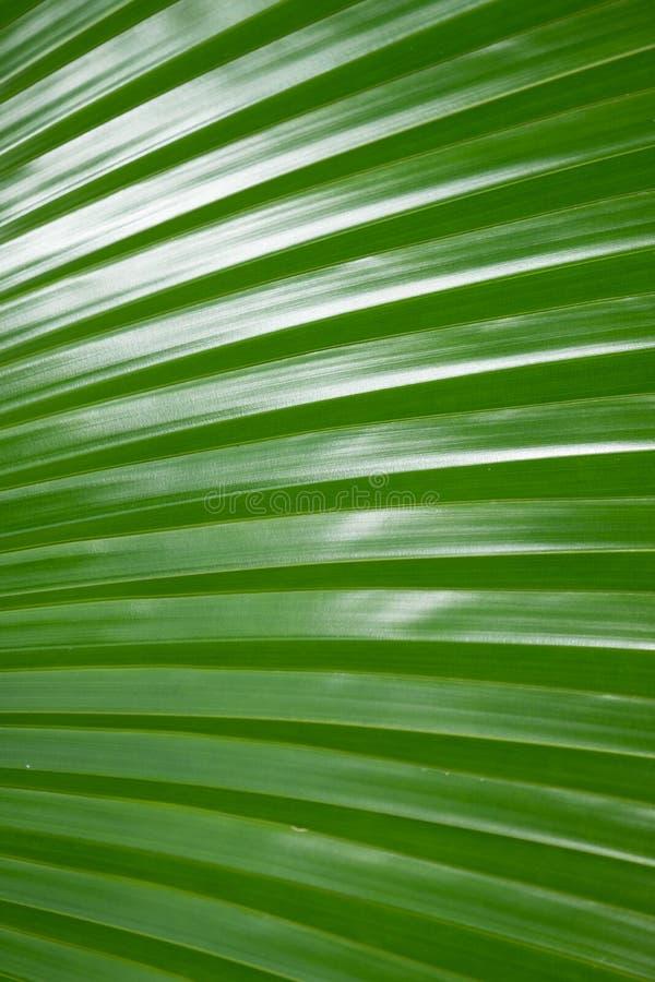 Beschaffenheit des grünen Palmblattes für Hintergrund lizenzfreie stockfotografie