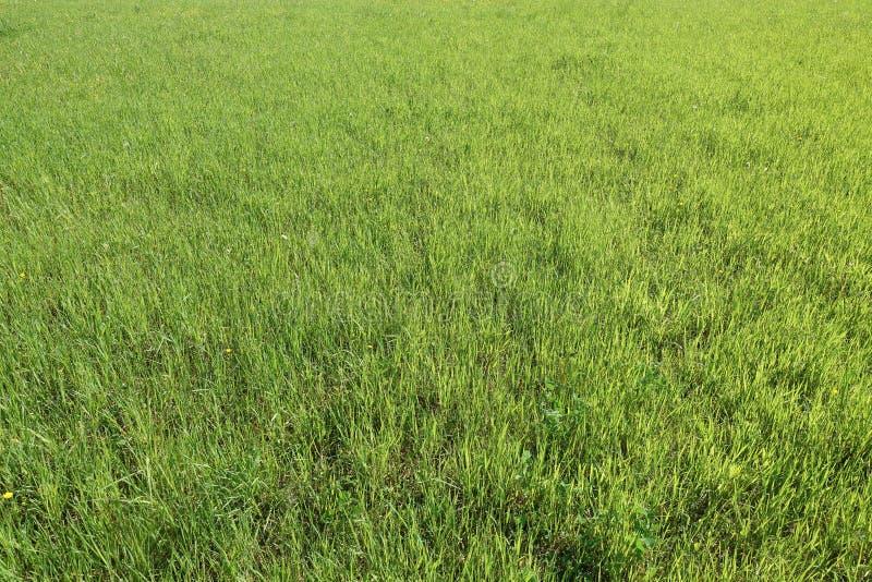 Beschaffenheit des gr?nen Grases von einem Feld Nat?rlicher gr?ner Hintergrund lizenzfreie stockfotografie
