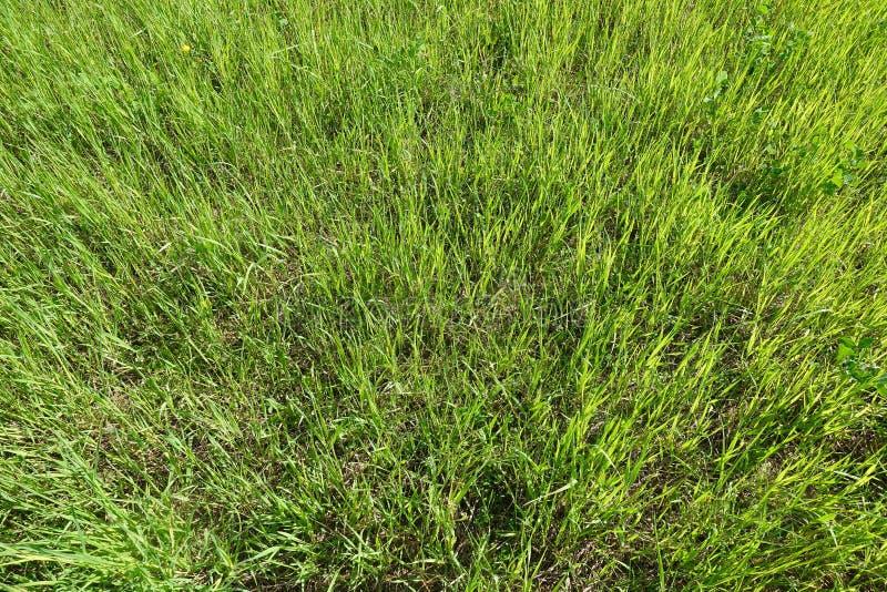 Beschaffenheit des gr?nen Grases von einem Feld Nat?rlicher gr?ner Hintergrund lizenzfreie stockfotos