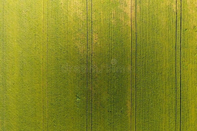 Beschaffenheit des Weizenfeldes Hintergrund des jungen grünen Weizens auf dem f lizenzfreie stockfotos