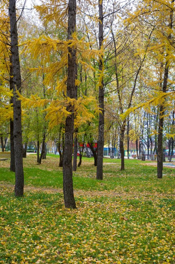 Beschaffenheit, Hintergrund, Muster Helle gelbe Nadeln des Herbstes von La lizenzfreie stockfotografie