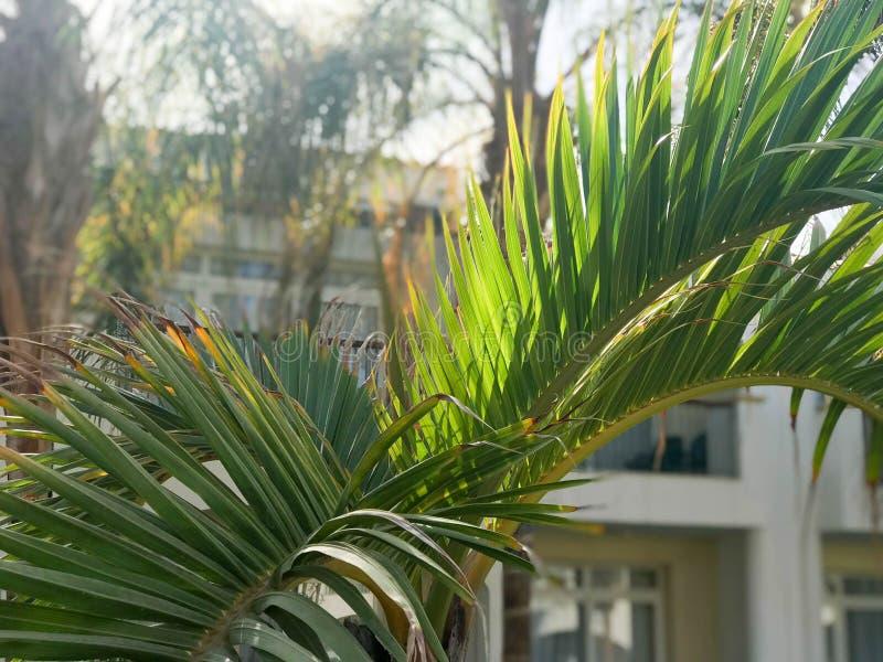 Beschaffenheit von grünen ausgedehnten schönen frischen tropischen Palmwedeln mit vielen Blättern und Kopienraum auf weißem Gebäu lizenzfreie stockfotografie