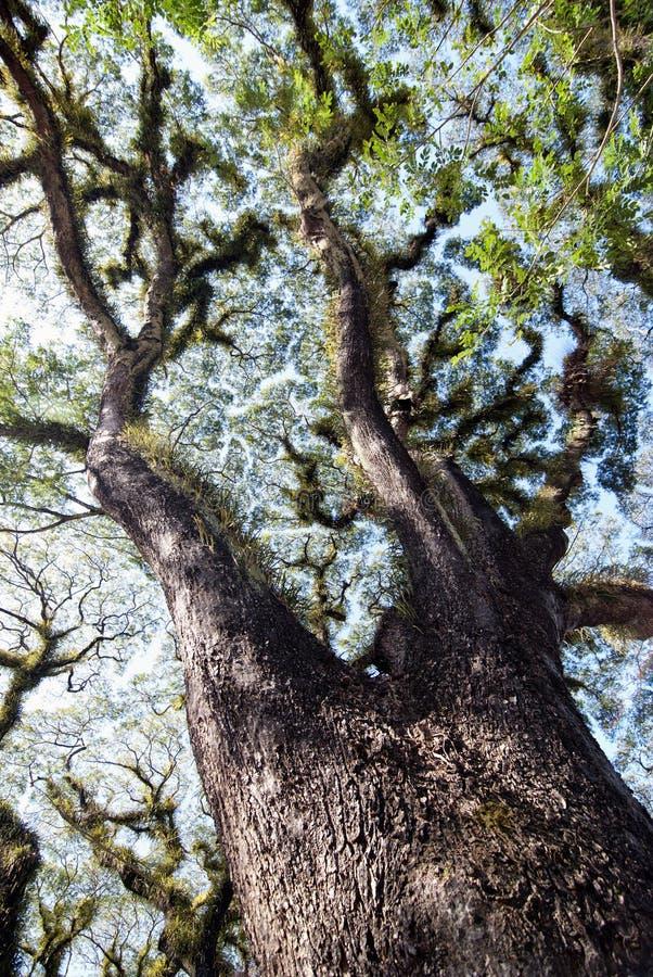 Beschaffenheiten der bärtigen Mossman Bäume, Australien stockbilder