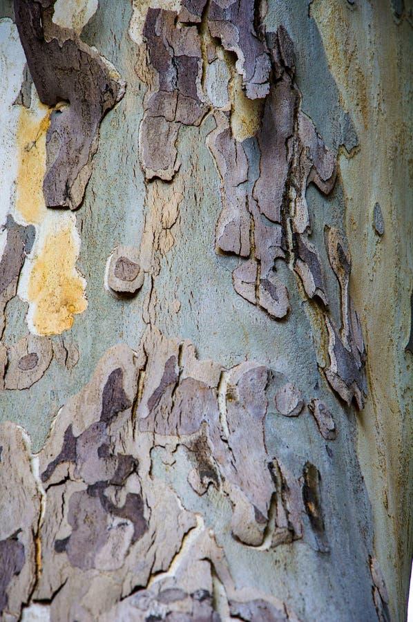 Beschaffenheiten von Platanen r Gelb, grün, blau, braun und grau Der Hintergrund von Baumstämmen stockfotografie