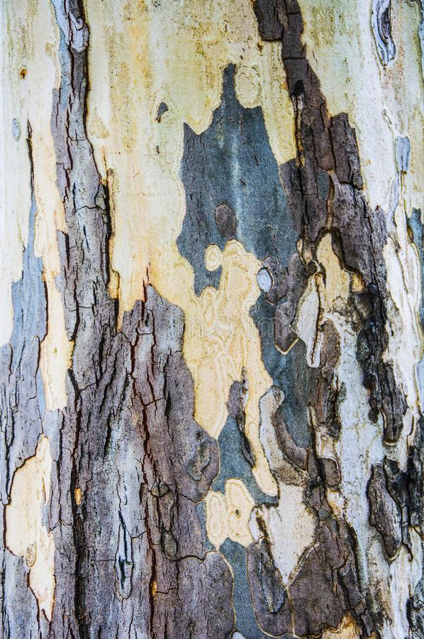 Beschaffenheiten von Platanen r Gelb, grün, blau, braun und grau Der Hintergrund von Baumstämmen stockfotos