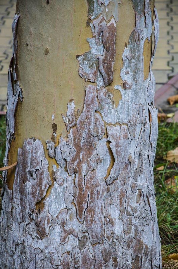 Beschaffenheiten von Platanen r Gelb, grün, blau, braun und grau Der Hintergrund von Baumstämmen lizenzfreie stockfotos