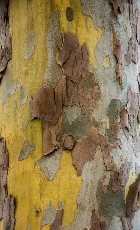 Beschaffenheiten von Platanen r Gelb, grün, blau, braun und grau Der Hintergrund von Baumstämmen lizenzfreie stockfotografie