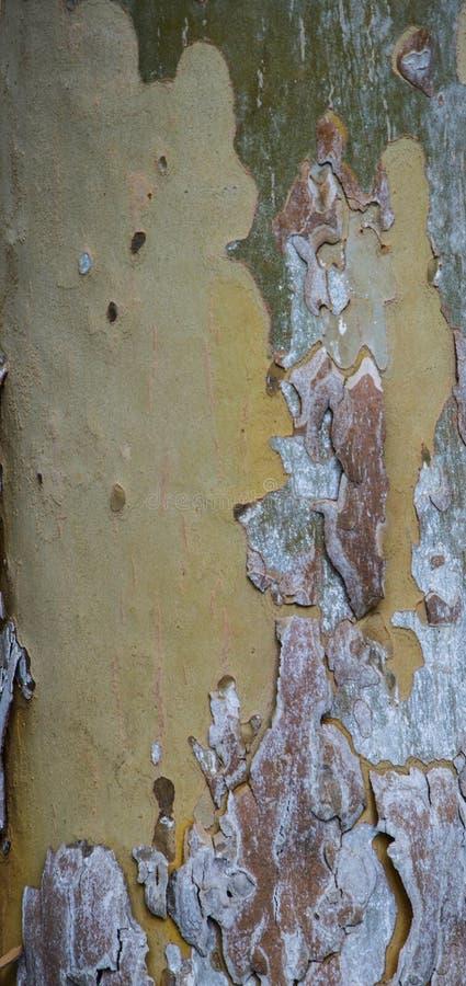 Beschaffenheiten von Platanen r Gelb, grün, blau, braun und grau Der Hintergrund von Baumstämmen stockfoto