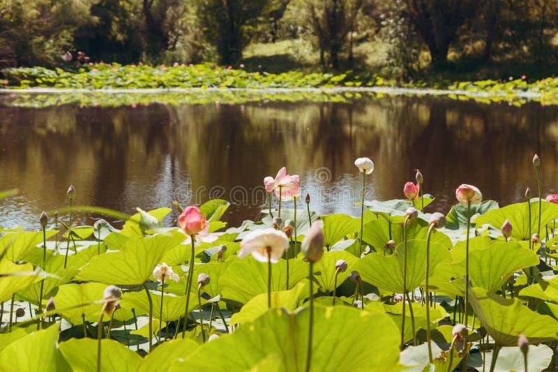 Beschermde meren van lotuses, bloemen en bladeren in water royalty-vrije stock afbeeldingen
