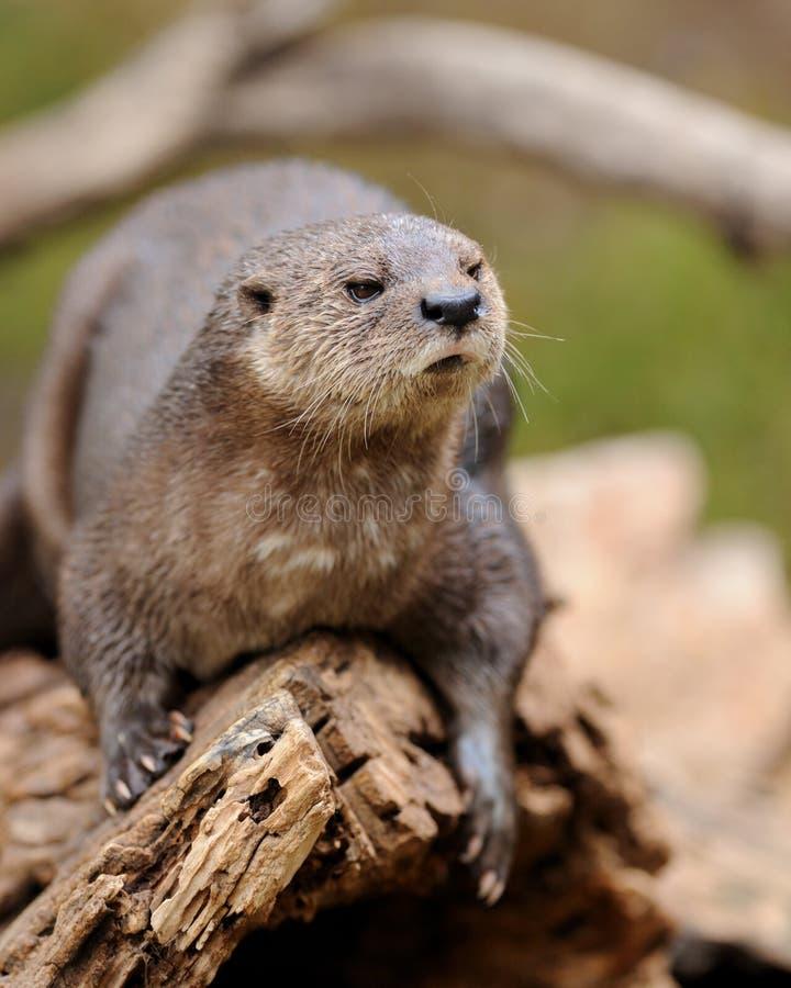 Beschmutzen-necked Otter stockbild