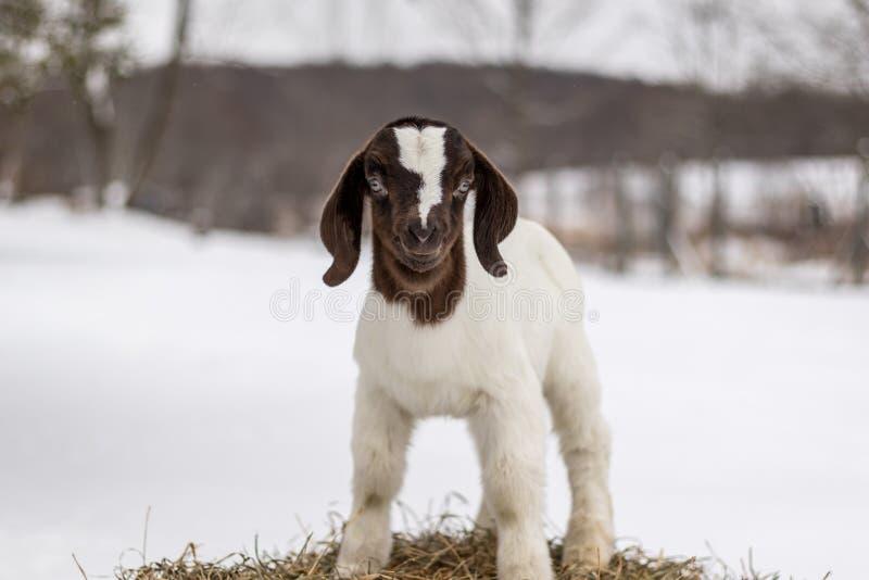 Beschmutzte Boer-Ziegenkinderstellung auf Heuballen im Winter mit Schnee stockbild