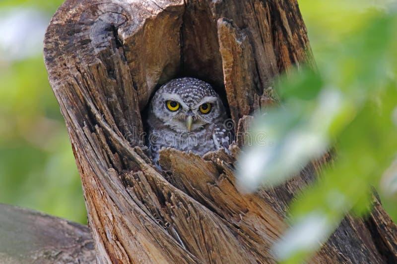 Beschmutzte Brama Athene der jungen Eule nette Vögel in der Baumhöhle stockfoto