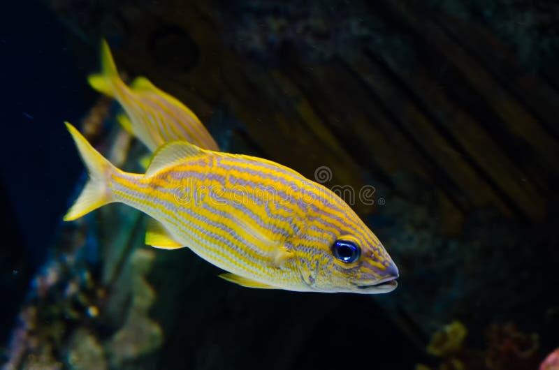 Beschmutzte Fische lizenzfreie stockfotos