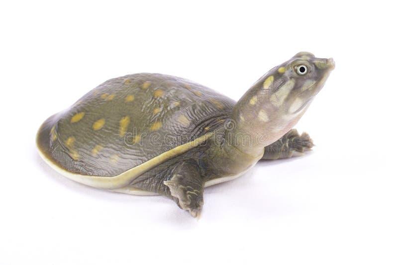 Beschmutzte flapshell Schildkröte, Lissemys-punctata andersoni stockfotografie