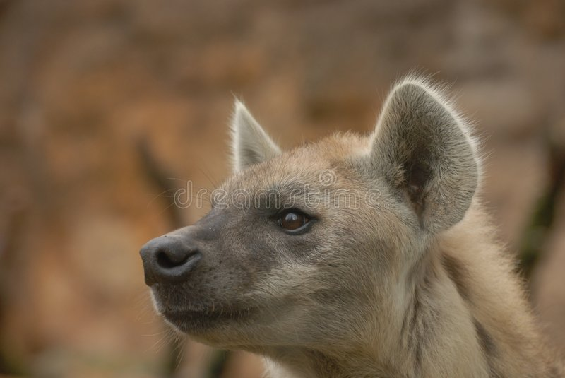Beschmutzte Hyäne - Crocuta Crocuta lizenzfreie stockfotos