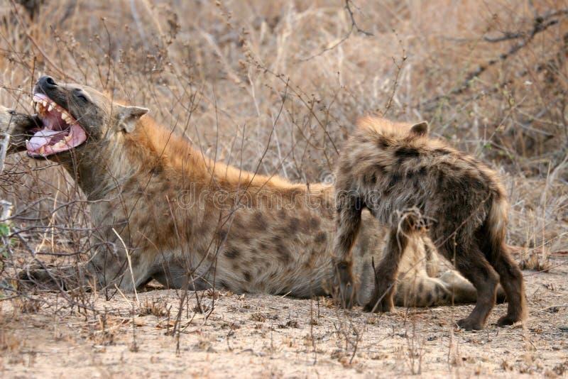 Beschmutzte Hyänemutter und -junges lizenzfreies stockfoto