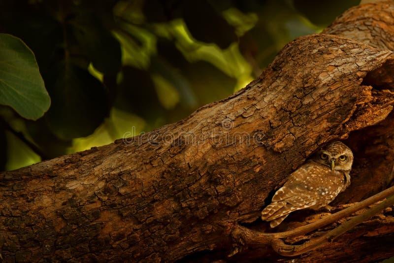 Beschmutzte junge Eule, Athene Brama, seltener Vogel von Asien Schöne Eule Indiens im Naturwaldlebensraum Vogel von Ranthambore E lizenzfreies stockfoto