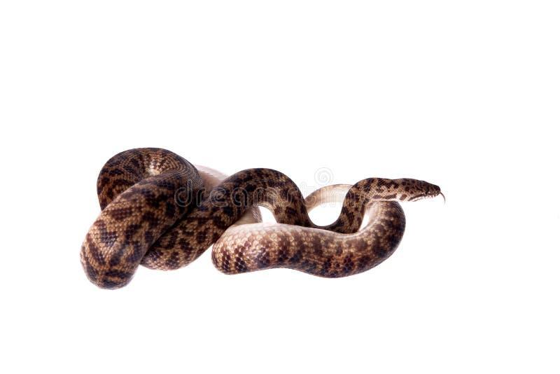 Beschmutzte Pythonschlange auf weißem Hintergrund lizenzfreie stockfotos