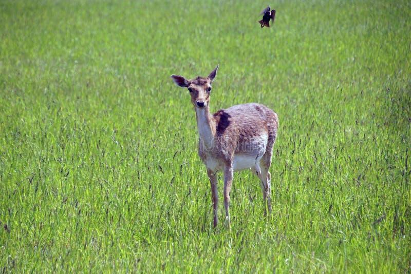 Beschmutzte Rotwild lassen auf dem Feld weiden Fr?hling may Sonniger Tag Wilde Tiere Huf- und geh?rnt lizenzfreie stockfotografie