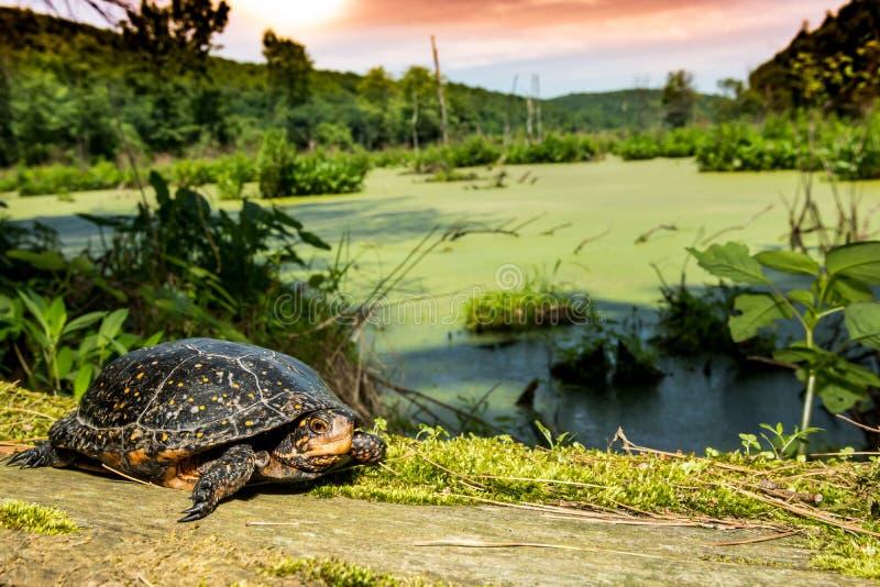 Beschmutzte Schildkröte lizenzfreies stockfoto