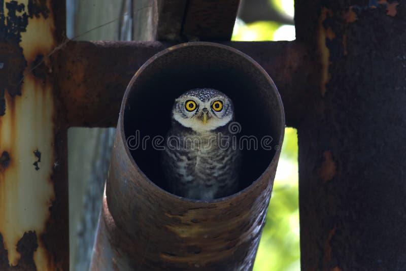 Beschmutzte Vögel Brama Athene der jungen Eule im Stahlrohr lizenzfreies stockfoto