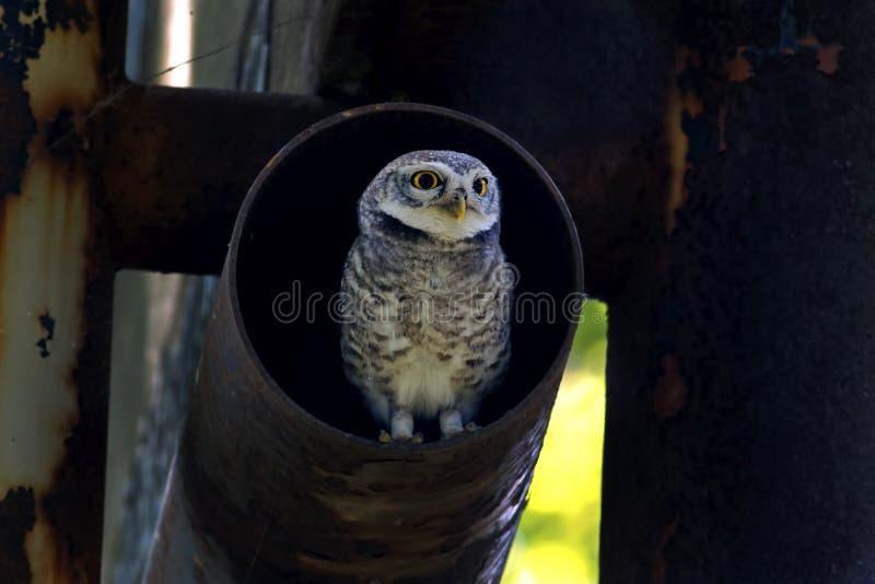 Beschmutzte Vögel Brama Athene der jungen Eule im Stahlrohr stockfotografie