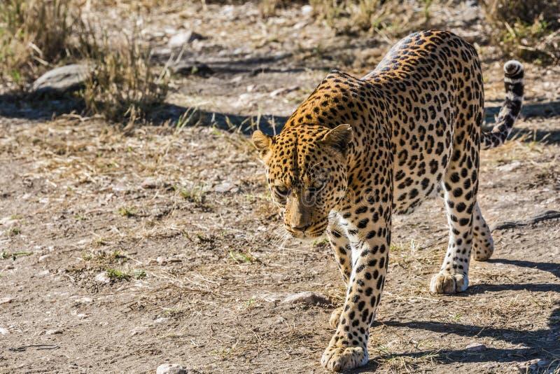 Beschmutzter afrikanischer Leopard lizenzfreies stockfoto