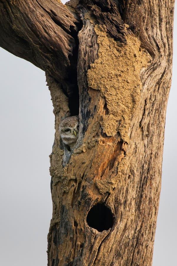 Beschmutzter Brama Athene der jungen Eule, der in einer Höhle eines Baums in KE sitzt lizenzfreie stockfotografie