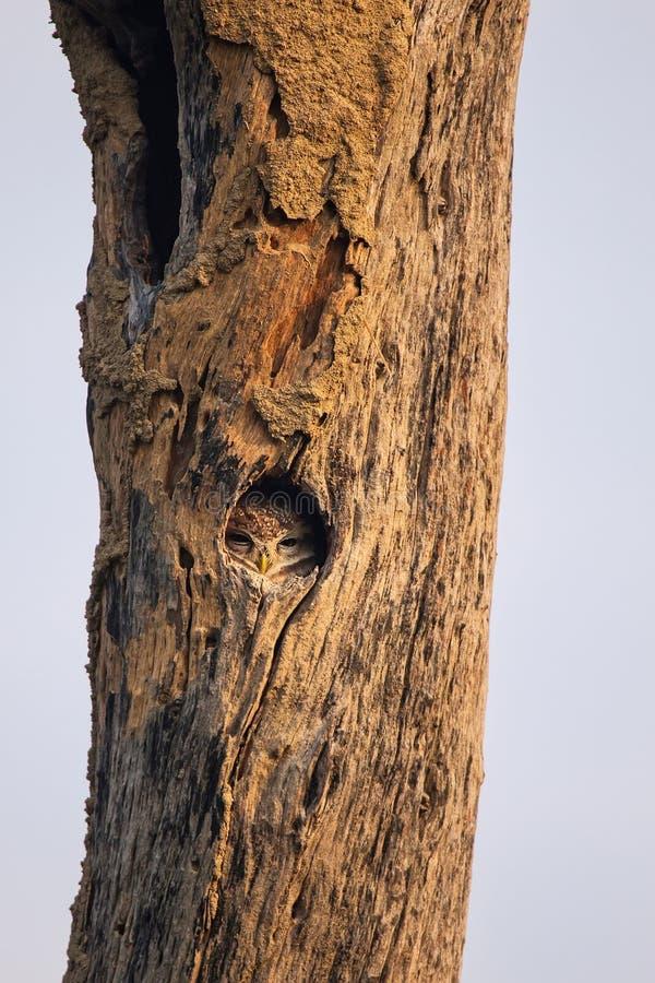 Beschmutzter Brama Athene der jungen Eule, der in einer Höhle eines Baums in KE sitzt lizenzfreies stockfoto