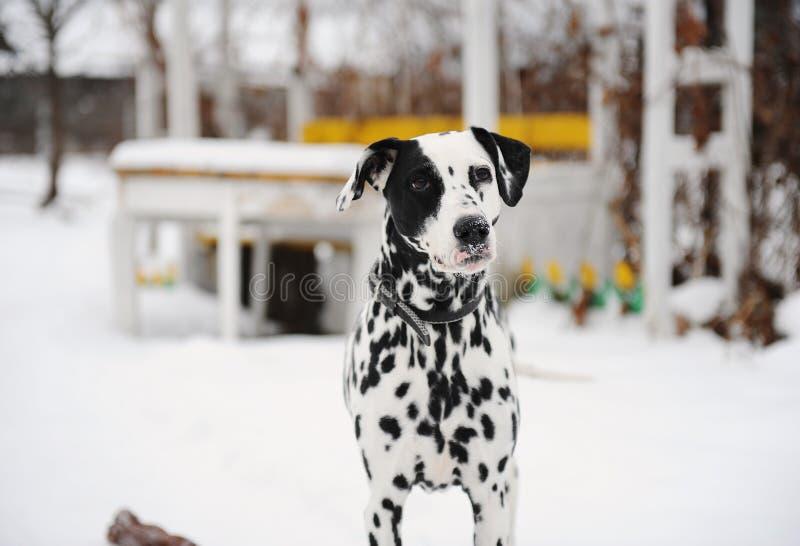 Beschmutzter dalmatinischer Hund im Schnee im Winteryard Tabelle im Hintergrund stockbilder