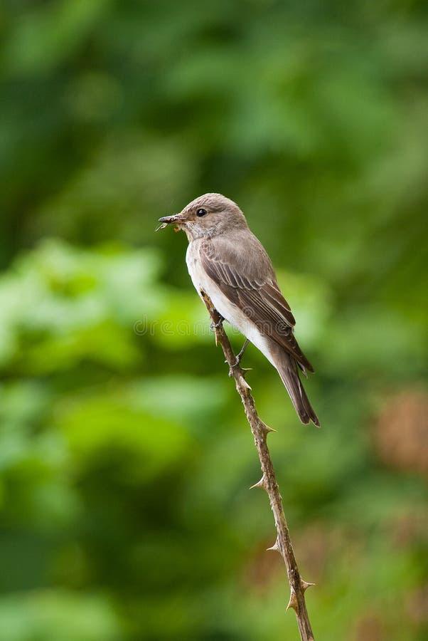 Beschmutzter Flycatcher (Muscicapa striata) lizenzfreies stockfoto