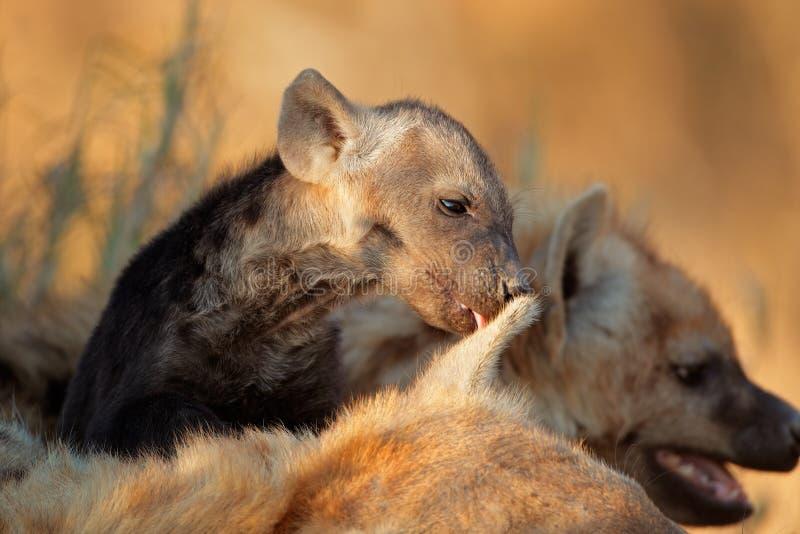 Beschmutzter Hyänewelpe Stockfotografie
