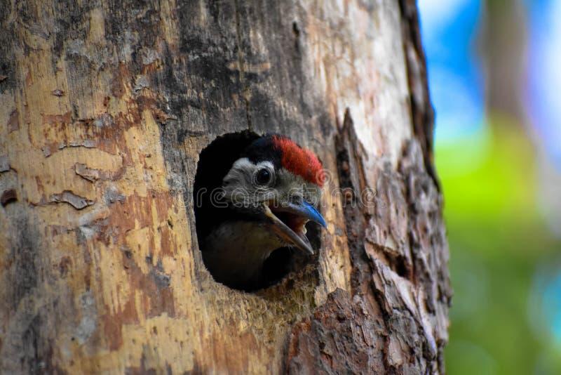 Beschmutzter junger Vogel des Spechts stockfotos