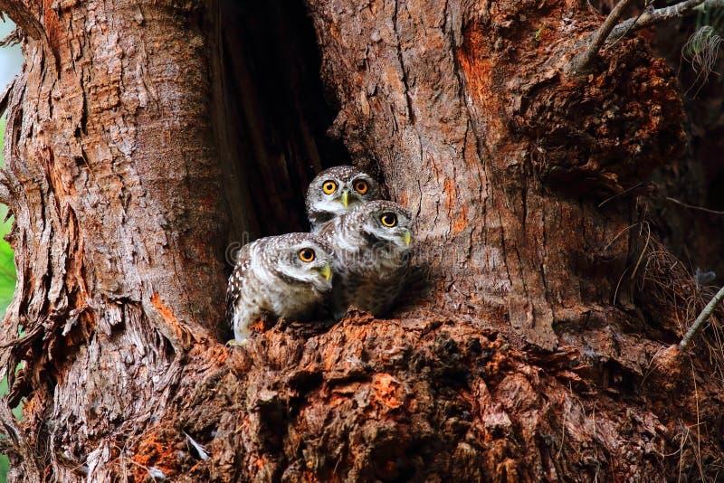 Beschmutzter Owlet stockbilder