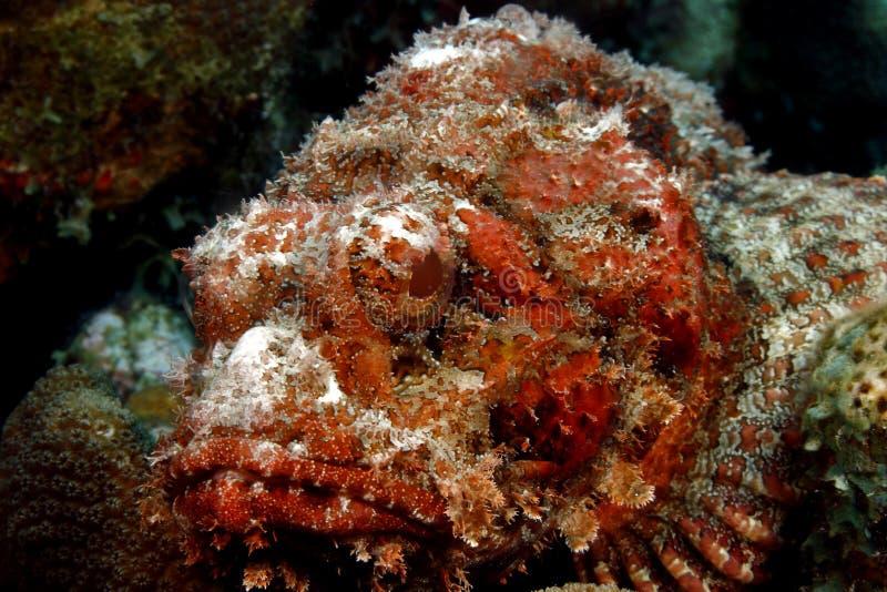 Beschmutzter Scorpionfish (Scorpaena plumieri) lizenzfreies stockfoto