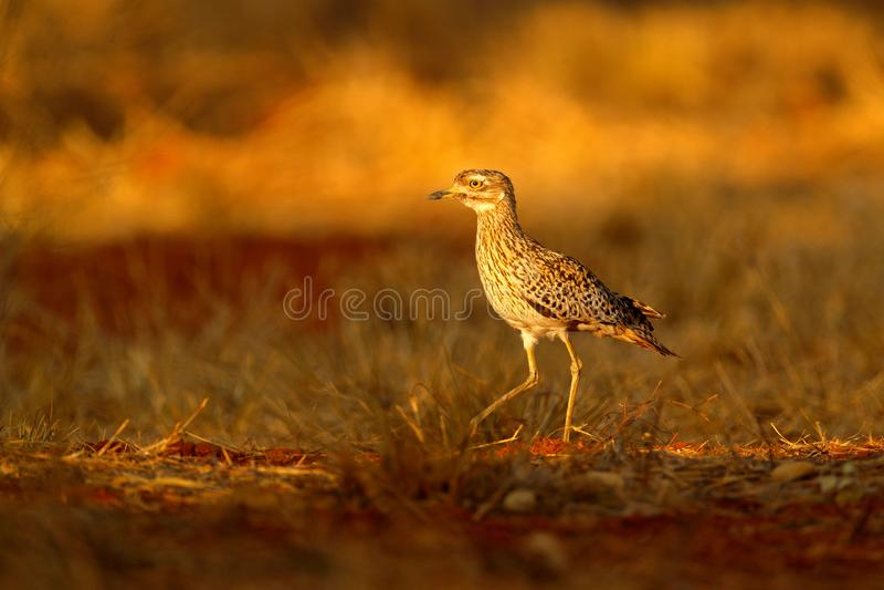 Beschmutztes Dikkop, Burhinuscapensis in Namibia, Licht mit schönem Vogel glättend Dikkop im Gras, Szene der wild lebenden Tiere  stockfoto