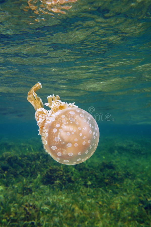 Beschmutztes Gelee Mastigias Quallen im karibischen Meer stockfotos