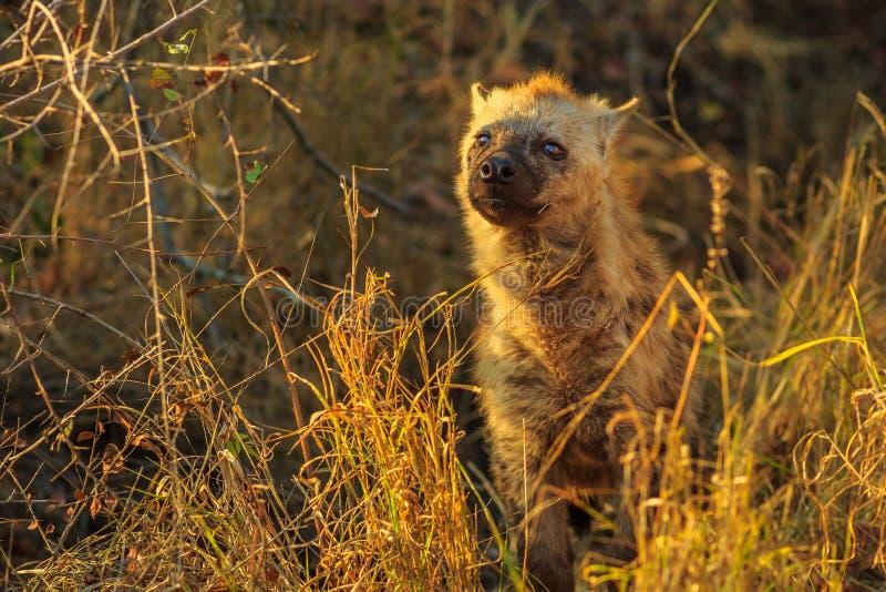 Beschmutztes Hyänejunges stockbilder