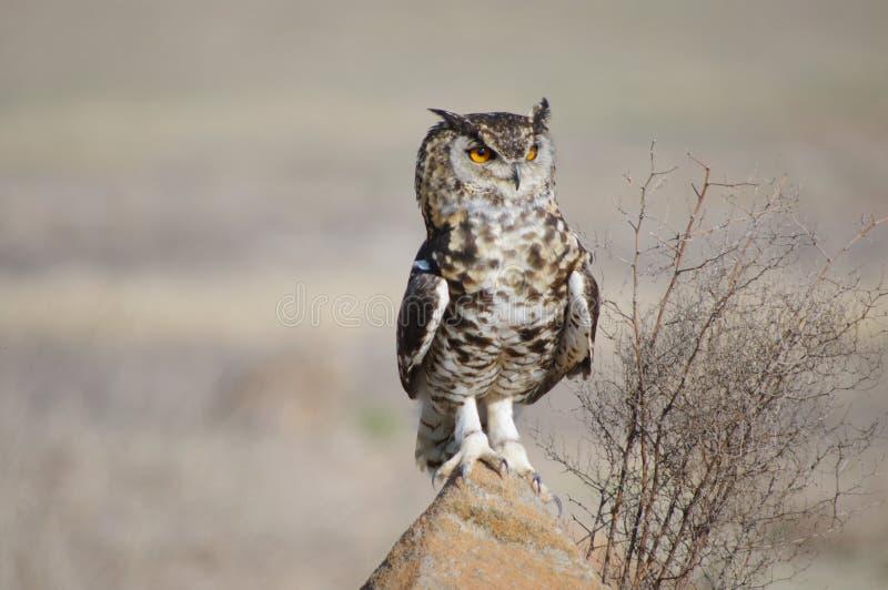 Beschmutztes Kap Eagle Owl, der auf Felsen sitzt stockfotos