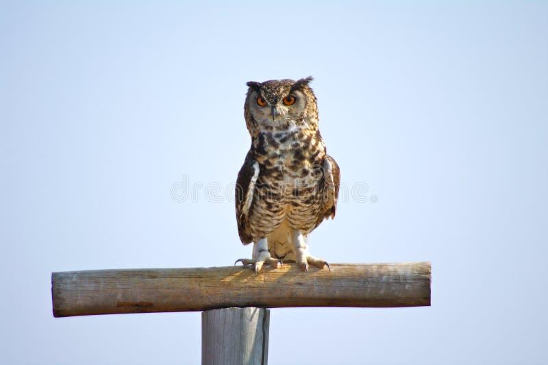 Beschmutztes Kap Eagle Owl, der auf purch sitzt stockfotografie