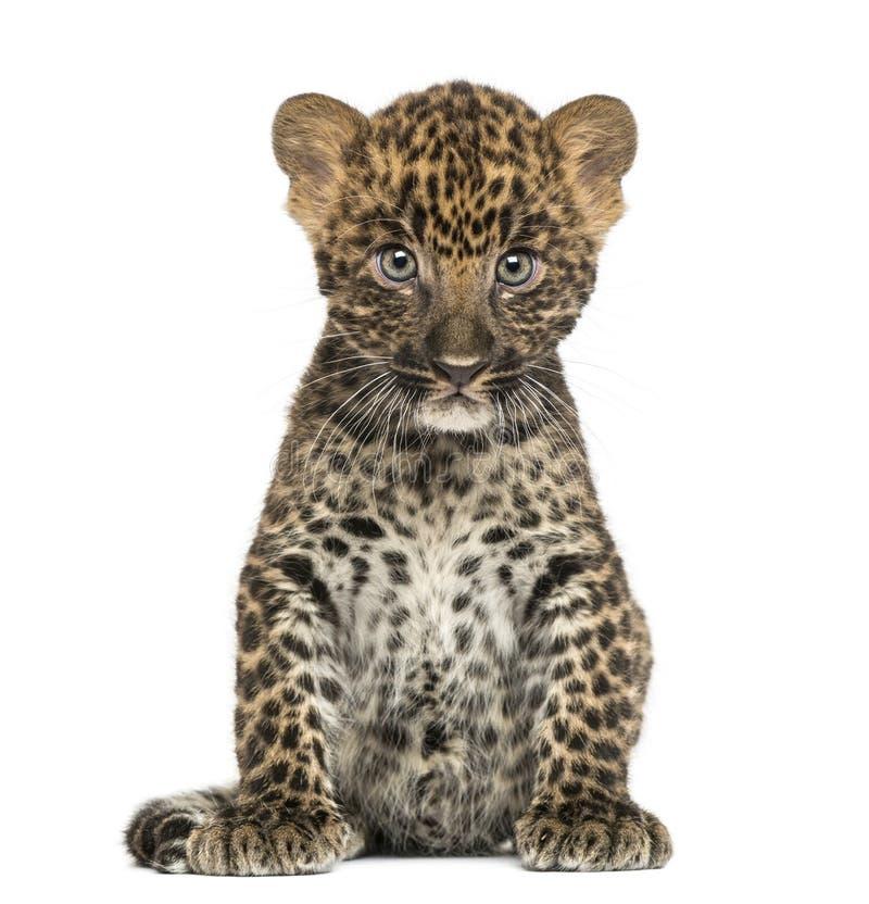 Beschmutztes Leopardjungssitzen - Panthera pardus, 7 Wochen alt lizenzfreie stockfotografie