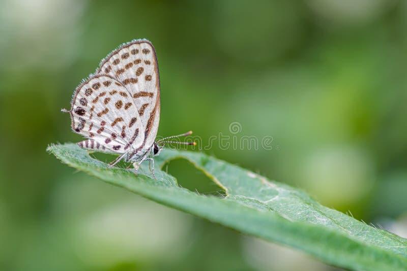 Beschmutztes Pierrot Tarucus-callinara, schöner Schmetterling, der auf grünem Blatt in der Wiese hockt stockfotografie